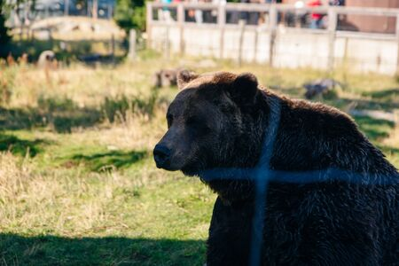 North Vancouver, British Columbia, Canada. The grizzly bear of Grouse Mountain.