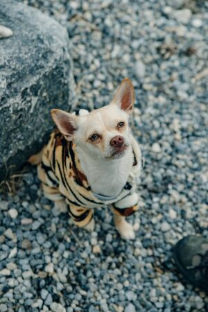 Chihuahua puppy wearing yellow tiger suit.