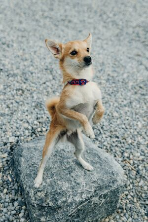 little Chihuahua puppy standing on hind legs on the stone.