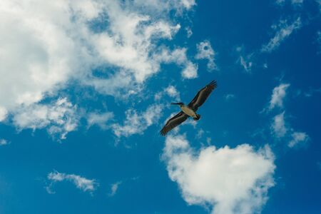 Pelican flying in the Caribbean sky. Isolated subject in the blue sky. Bird of the local fauna of mexico. 写真素材