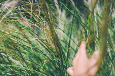 hand touching wheat spikes with her hand at sunset in meadow grass. Stock fotó