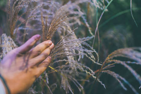 hand touching wheat spikes with her hand at sunset in meadow grass. Stok Fotoğraf