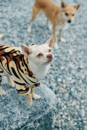 little Chihuahua puppy wearing yellow tiger suit