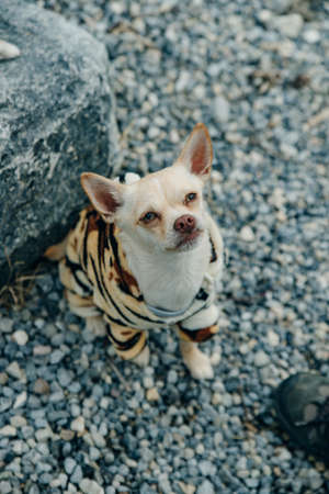 little Chihuahua puppy wearing yellow tiger suit Banco de Imagens - 151556492