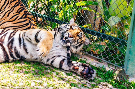 Phuket, Thailand - November 2019 This is the Tiger Kingdom in Phuket where Tourist attraction featuring up-close Banco de Imagens - 151556495