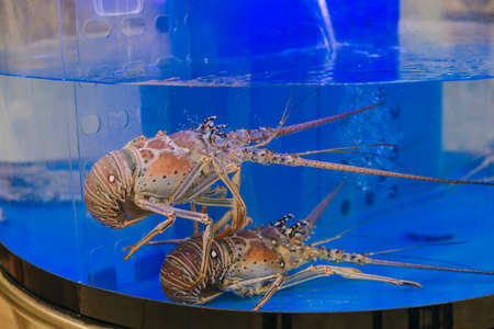 Alive lobsters in the water tank at seafood market Banco de Imagens