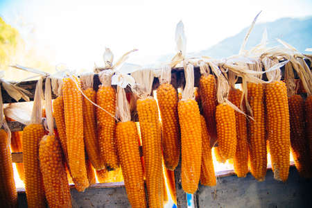 the fruits of corn are dried in the sun. Kidneys of corn after harvesting. Natural corn products are stored on a rope.