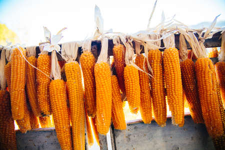 the fruits of corn are dried in the sun. Kidneys of corn after harvesting. Natural corn products are stored on a rope Reklamní fotografie