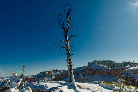 dry tree in Bryce Canyon National Park in southwestern Utah.