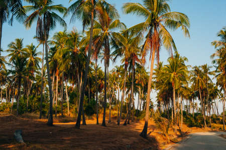 Wild tall green palms. Thailand Phuket island. Summer morning time. Landscape view.