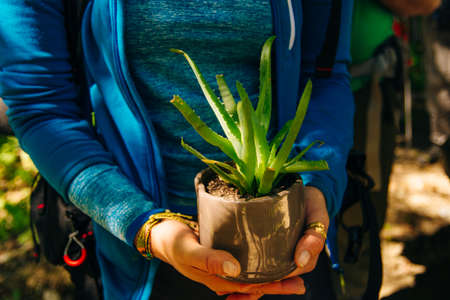 Aloe in a pot. Girl holding aloe flower in a pot in the foreground