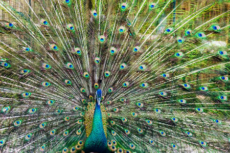 A Male Peacock showing off his beautiful tail feathers