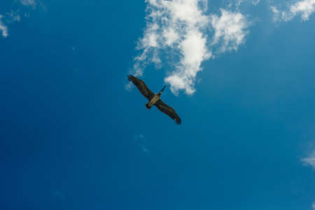 Pelican flying in the Caribbean sky. Isolated subject in the blue sky. Bird of the local fauna of mexico