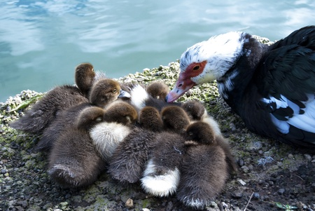 Baby ducks at the shore of the lake Stock Photo - 10201792