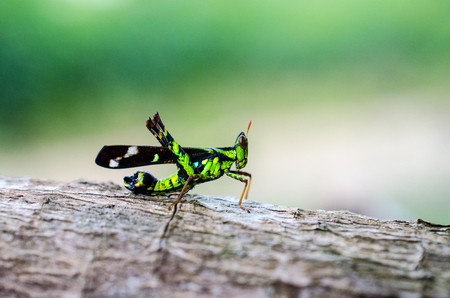 fruition: An Image of Grasshoppers . macro Grasshopper Stock Photo