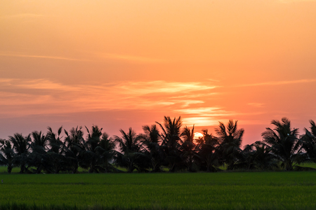 coconut tree and rice filed at sunset Stock Photo
