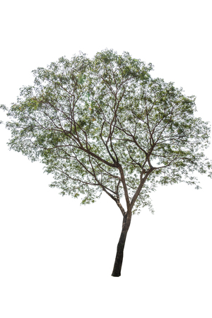 siamensis: Big tree isolate photo on white background with path