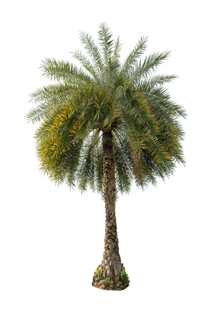 subtropical plants: Green beautiful palm tree isolated on white background