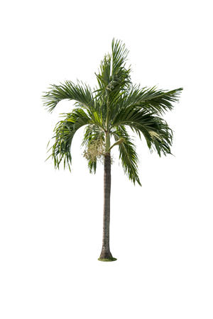 subtropical: Green beautiful palm tree isolated on white background