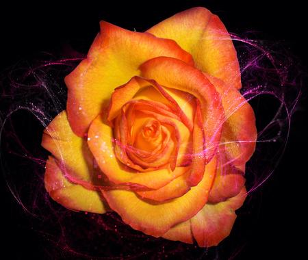 eroticism: Rose
