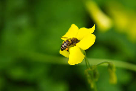 Bee pollinating yellow flower with the scientific name of oxalis pes - caprae. Close-up with out focus background and bokeh effect Reklamní fotografie