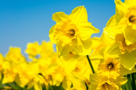 yellow daffodil flowers blooming in the spring 스톡 콘텐츠