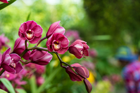 puple cymbidium flower in spring Stok Fotoğraf