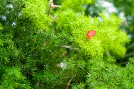 pine tree and red leaf