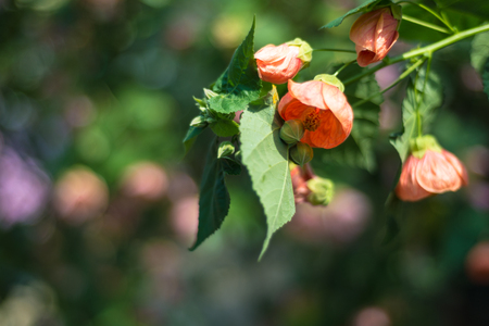 Abutilon flower in spring