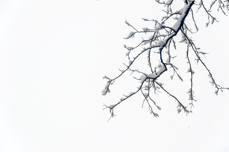 [Winter Set] Snow piles up on a branch. Stok Fotoğraf
