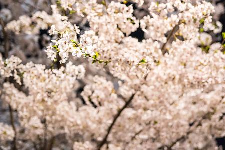 [Spring Set] cherry blossom tree at nights