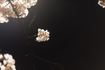[Spring Set] cherry blossom tree at nights