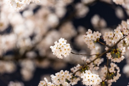 sky brunch: [Spring Set] cherry blossom tree at nights
