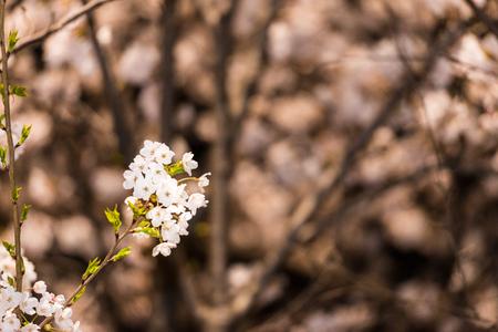 [Primavera Conjunto] árbol de flor de cerezo por las noches