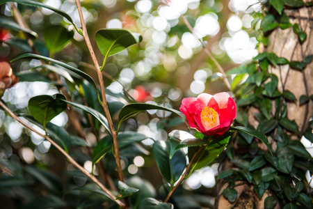 Camellia in early spring