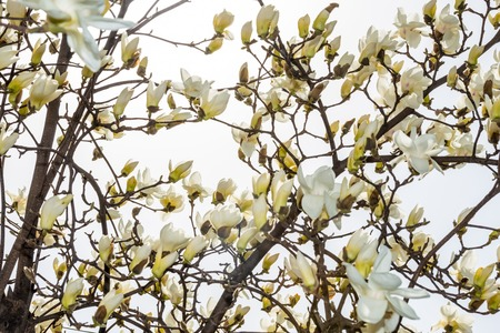 [Spring Set] Magnolia,beautiful white flower