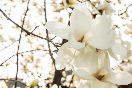 Magnolia,beautiful white flower