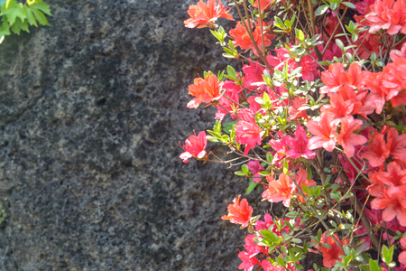 royal azalea blossom of spring