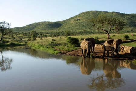 Elephants drinking water at a waterhole