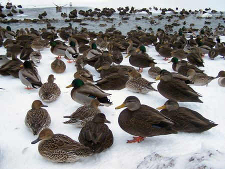 a pond that is filled with a large colony of ducks Stock Photo - 785121