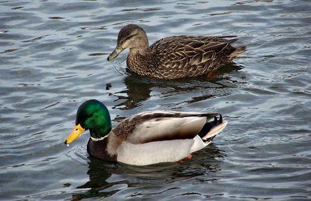 two ducks swim forward for food