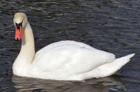 a swan swims around in a pond in the dead of winter