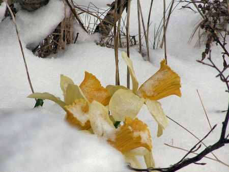 thses flowers cling to life after and snow storm