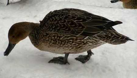 a duck searching for food in the snow