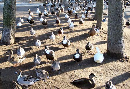 a swarm of ducks sits around the pond Stock Photo