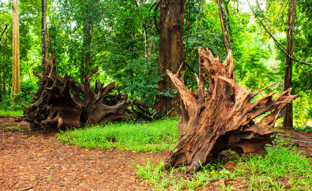 overthrow: timber strange in the middle of the forest. Stock Photo