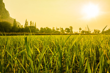 settles: dew settles on rice in the morning Stock Photo
