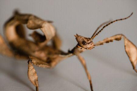 A juvenile male Australian spiny leaf insect, Extatosoma tiaratum