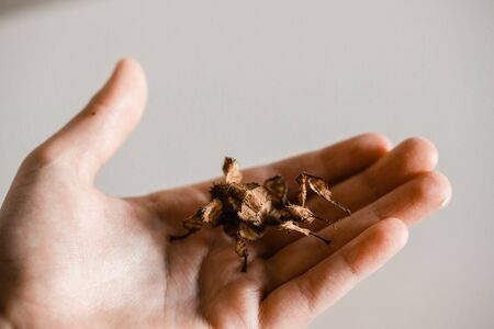 Female spiny stick insect in a child's hand