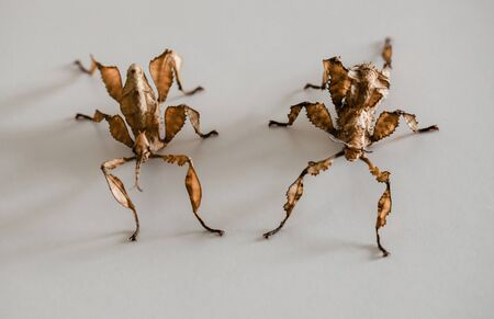 two spiny leaf insects, a make on the left and a female on the right (Extatosoma tiaratum)